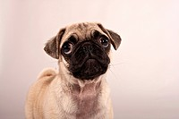 Pug puppy, portrait