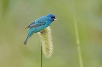 Indigo Bunting (Passerina cyanea), male feeding on Manchurian wild rice (Zizania latifolia), Port Aransas, Mustang Island, Coastal Bend, Texas Coast, ...