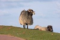 Sheep (Ovis) standing on the island of Heligoland, Helgoland, Schleswig-Holstein, Germany, Europe