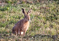 European Hare or Brown Hare (Lepus europaeus)