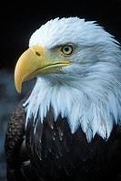 USA, Alaska, Inside Passage. Adult bald eagle portrait. Credit: Nancy Rotenberg / Jaynes Gallery / DanitaDelimont.com