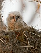 USA, Florida, Boynton Beach. A nesting great horned owl chick in the Loxahatchee National Wildlife Refuge. Credit: Joanne Williams / Jaynes Gallery / ...