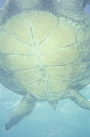 USA, Hawaii, Big Island, Hawaiian Green Sea turtle Chelonia mydas swimming in ocean, viewed from below