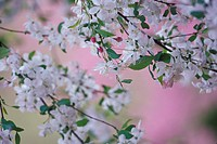 USA, Kentucky, Louisville, Weeping cherry tree blossoms
