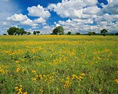 Texas, Texas Hill Country, Field of flowers and trees with cloudy sky