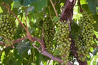 Peru. Ica department. grapes on a vine. Quebranta grape variety