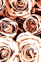 Beautiful Toned Romantic Roses Full Frame