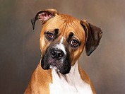 Boxer: breed of dog