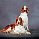 English Springer Spaniel: type of breed