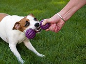 Jack Russell Terrier: breed of dog