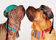 Sharpei: Breed of dog