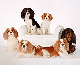 Cavalier King Charles Spaniel: breed of dog