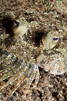 Peacock Flounder, Bothus mancus, Lembeh Strait, Sulawesi, Indonesia