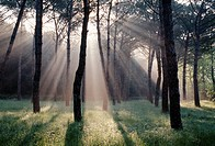Beams of sunlight through trees, Pievescola, Tuscany, Italy