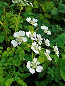 Panda, Pinda Concanensis, White colored wild Flowers