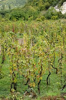 Montenegro  Wineyard near Virpazar and Skadar lake