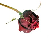 Wilted red roses isolated