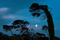 Wind blown trees and moon, Westrand Darss, Western Pomerania Lagoon Area National Park, Mecklenburg-Western Pomerania, Germany, Europe