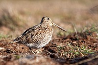 Falkland Islands , Sea LIon island , Magellanic snipe or South American Snipe  Gallinago paraguaiae magellanica  Order : Charadriiformes Famille : Sco...