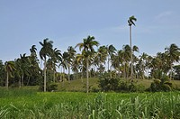 Palm trees, vegetation, Alexander von Humboldt National Park, Cuba, Caribbean, Central America