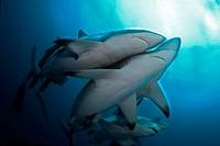 Blacktip Shark, Carcharhinus limbatus, Aliwal Shoal, KwaZulu_Natals, South Africa