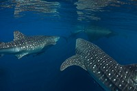 Group of Whale Sharks, Rhincodon typus, Ahe Island, Cenderawasih Bay, West Papua, Indonesia