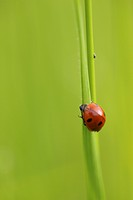 Ladybird (Coccinellidae) on a blade of grass