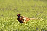Pheasant (Phasianus colchicus), male