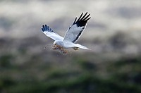 Hen harrier (Circus cyaneus), male
