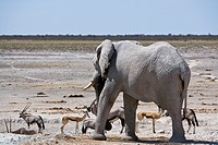 An african elephant (Loxodonta africana) chases away some oryx (Oryx gazella) and springboks (Antidorcas marsupialis) from a waterhole in the Etosha N...