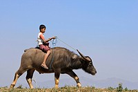 Boy riding on a water buffalo, Myanmar, Burma, Southeast Asia