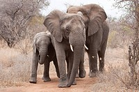 Family of elephants (Loxodonta africana), Tshukudu Game Lodge, Hoedspruit, Greater Kruger National Park, Limpopo Province, South Africa, Africa