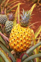 Close up of a pineapple at Dole plantation Hawaii, Oahu, Hawaii, USA, America