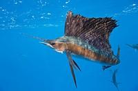 Atlantic Sailfish, Istiophorus albicans, Isla Mujeres, Yucatan Peninsula, Caribbean Sea, Mexico
