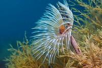 Spiral Tube Worm, Spirographis spallanzani, Cap de Creus, Costa Brava, Spain
