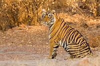Tiger Panthera Tigris in Ranthambore National Park , Rajasthan , India