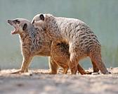 Young Meerkats (Suricata suricatta) wrestling