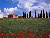 Poppy field and county house with cypresses, Val dOrcia Tuscany, Italy