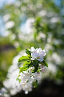 Close up of flower on apple tree in blossom