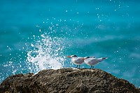 Royal tern standing on rock