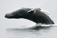 Adult humpback Whale Megaptera novaeangliae breaching near the Five Fingers Island Group in Southeast Alaska, USA  Pacific Ocean