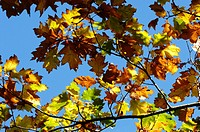 Autumn foliage of Red Oak, Quercus rubra, Wales