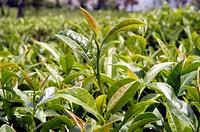 Tea garden at Chamunda valley in Himachal Pradesh , India