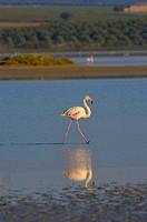 Greater Flamingo (Phoenicopterus ruber), Fuente de Piedra Lagoon, Málaga province, Andalusia, Spain, Europe