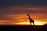 Giraffe (Giraffa camelopardalis), sunset