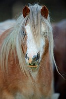 Descendent of the ancient Celtic mountain pony which lived wild in the hills of Wales for centuries - Welch Mountain Pony Section A - UK