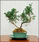 Image of Bonsai tree on the table
