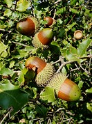 first plane of acorns in the branch of the oak