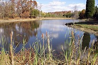 Peaceful pond with cattails along the edge