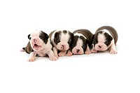 BOSTON TERRIER DOG, PUPPIES AGAINST WHITE BACKGROUND